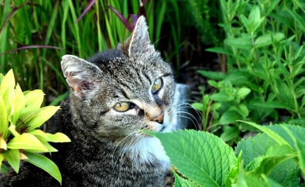 Tiger Ruba Erba